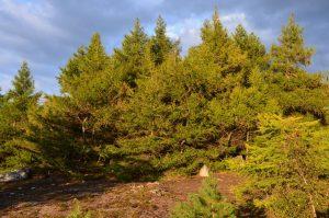 Gesunde Nadelbäume, seltener Anblick derzeit