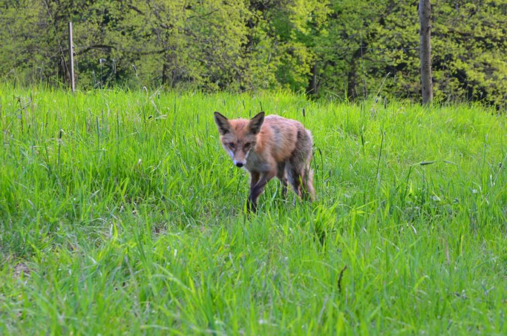 Fuchs bei Volfartice 2016