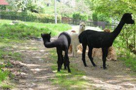 Alpakas schwarz-weiß